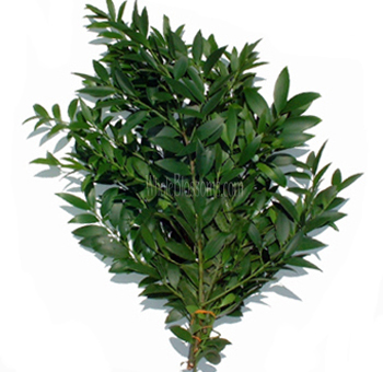 Nagi Podocarpus Filler Greens Flower