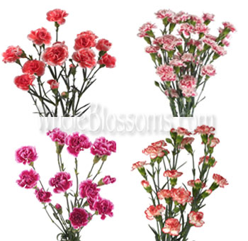 BiColor Mini Carnation Flowers Assorted