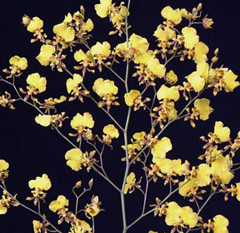 Oncidium Orchid Flower