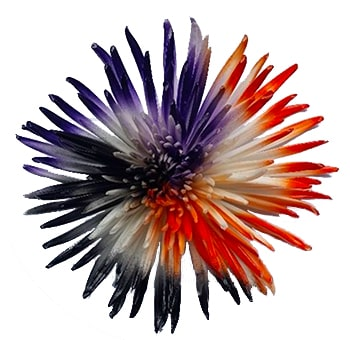 White Spider Mums with Black, Orange and Purple