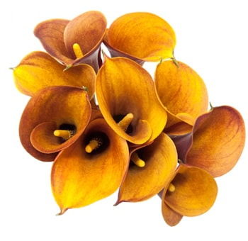 Orange Mango Calla Lilies