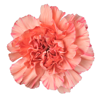 Valentine's Day Orange Carnations