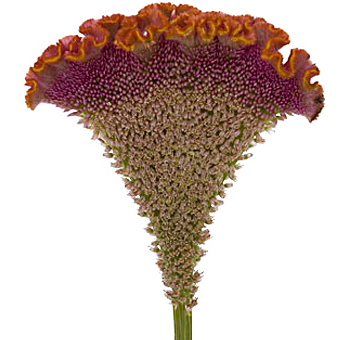 Celosia Cockscomb Orange Flower