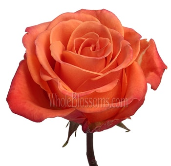 Orange Organic Roses for Valentine's Day
