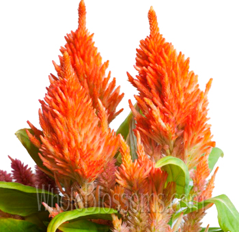 Feather Celosia Orange Flower