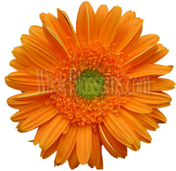 Orange Gerbera Flower | Light Center