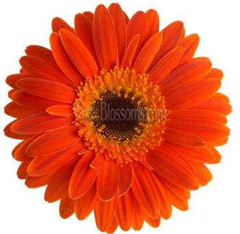 Orange Gerbera Flower | Dark Center