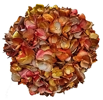 Red Hydrangea Orange Yellow Gold Chameleon