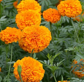 orange-marigold-flower-min