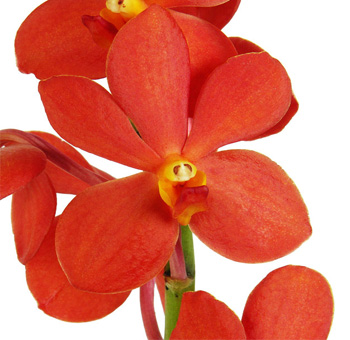 Orange Mokara Orchid