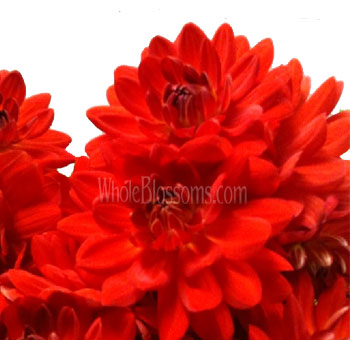 orange-red-dahlia-irene