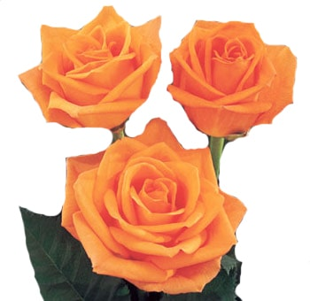 Orange Ecuadorian Roses for Valentine's Day