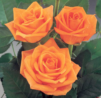 Orange Wedding Roses | Colombian Ecuadoran Flower