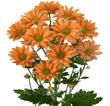 Daisy Pom Tinted Orange Flowers