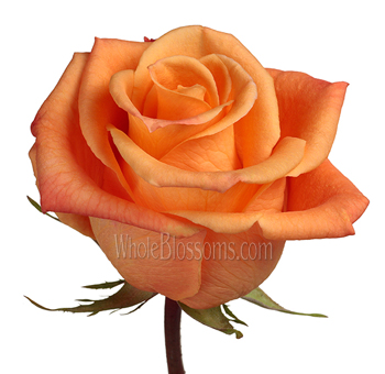 Orange Unique Organic Roses