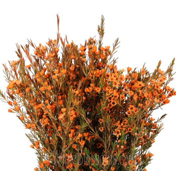 Wax Flower Dark Orange