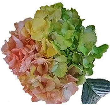 Tie Dye Orange Yellow Green Hydrangea