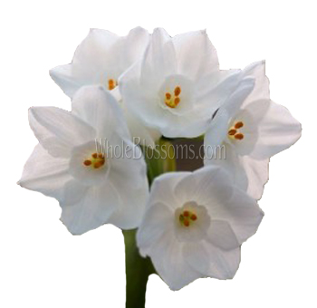 Paper white flower narcissus paper white flower wholesale paper narcissus paper white flower mightylinksfo