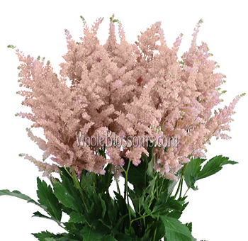 Fresh Cut Astilbe Peach Flowers