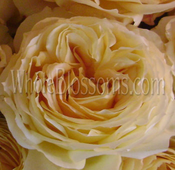 Caramel Antique Garden Rose Cream Peach Butterscotch Flower
