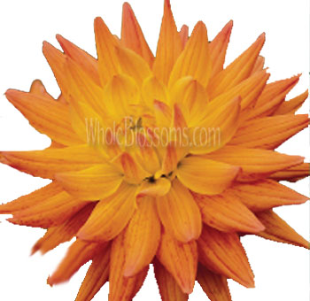 Bicolor Orange Yellow Dahlia Crown