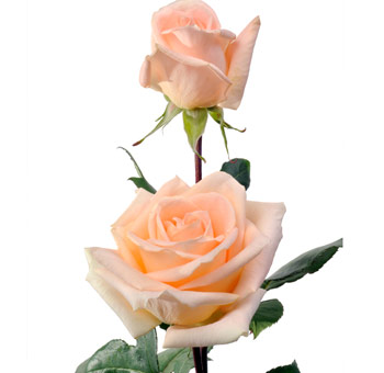 Peach Ecuadorian Roses for Valentine's Day