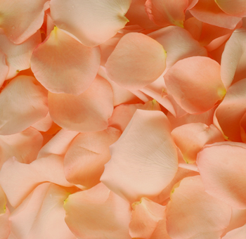 Peach Rose Petals for Valentine's Day