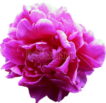 Wholesale hot pink fuchsia peony flower for wedding for sale hot pink fuchsia peony flowers mightylinksfo