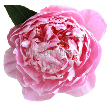 Pink Peonies Wholesale