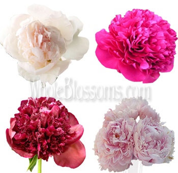 Assorted Peony Flowers for Wedding