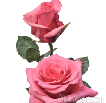 Buy perugia hot pink roses for wedding perugia hot pink roses mightylinksfo