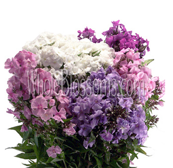 Phlox Flower Assorted - White and Light Pink