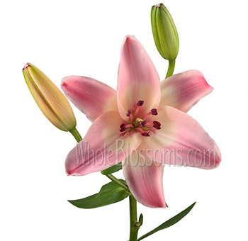 Pink Asiatic Lily Flowers