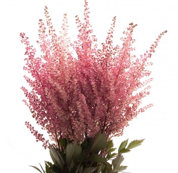 Fresh Cut Wholesale Astilbe Pink Flowers