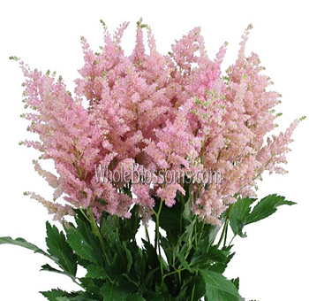 Fresh Cut Astilbe Light Pink Flowers