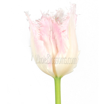 Fringed Tulips Bicolor Pink Blush
