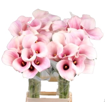 Pink Calla Lily with Ivory Shade