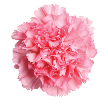 Pink Carnation Flower for Valentine's Day