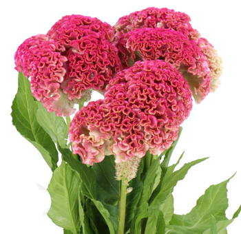 Pink Celosia
