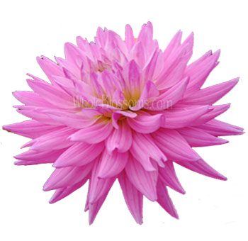 Dahlia Pink Flower with Purple Cast