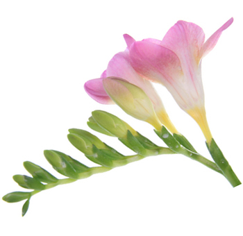 Freesia flowers delivery freesia flowers for sale pink freesia flower mightylinksfo