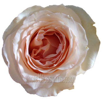 pink garden rose perfumela