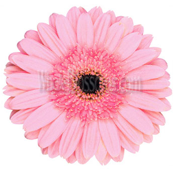 Pink Gerbera Daisy Flower | Dark Center