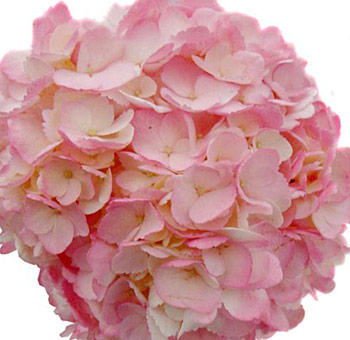 pink-hydrangea-flower-painted