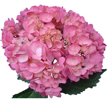 Pink Airbrushed Hydrangea Flower