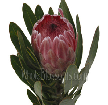 Pink Ice Protea Flower