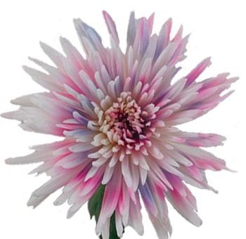 Pink Lavender White Mums Flowers Online Whole Blossoms