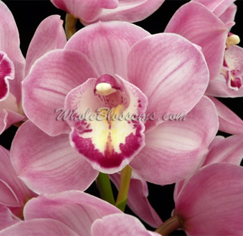 Mini Cymbidium Pink Orchid