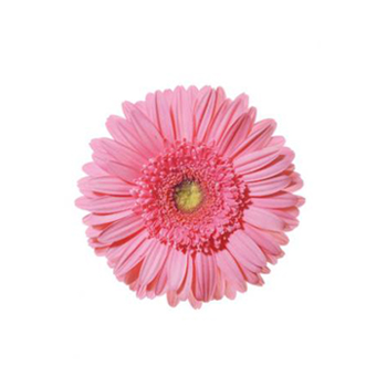 Pink Mini Gerbera Flower
