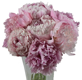 Light Pink Peonies Flower